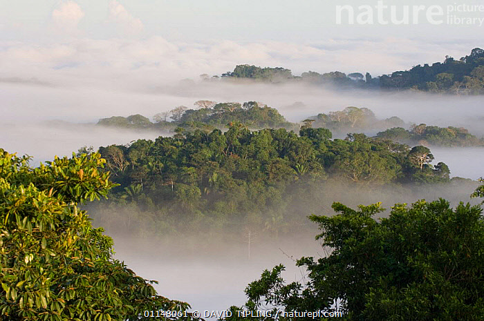 Lowland rainforest landscape at dawn with mist rising, Soberiana NP, Panama.  ,  CENTRAL AMERICA,LANDSCAPES,MIST,TROPICAL RAINFOREST,CENTRAL-AMERICA  ,  DAVID TIPLING
