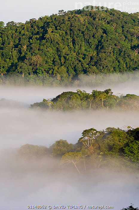 Lowland rainforest landscape at dawn, Soberiana NP, Panama., CENTRAL AMERICA,LANDSCAPES,MIST,MORNING,VERTICAL,CENTRAL-AMERICA, DAVID TIPLING