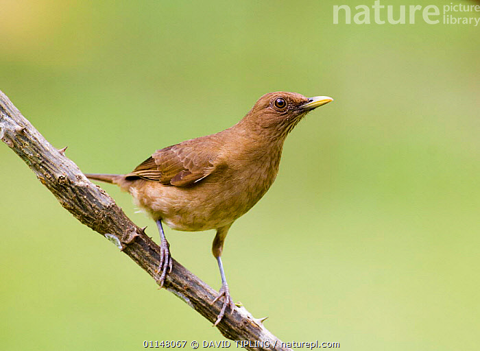 Clay-colored Thrush {Turdus grayi casius} profile on branch, Panama  ,  BIRDS,CENTRAL AMERICA,CLAY COLOURED ROBIN,THRUSHES,VERTEBRATES  ,  DAVID TIPLING