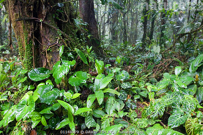 Rain soaked leaves in Cloud Forest, Altos Del Maria, Panama.  ,  CENTRAL AMERICA,FORESTS,LEAVES,TRUNKS,CENTRAL-AMERICA  ,  DAVID TIPLING