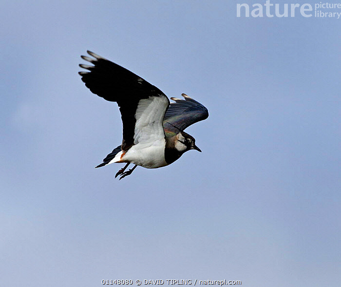 Lapwing {Vanellus vanellus} in flight, Northumberland, UK., BIRDS,EUROPE,FLYING,PLOVERS,SKY,UK,VERTEBRATES,WADERS,WINGS,United Kingdom,British, Waders, DAVID TIPLING