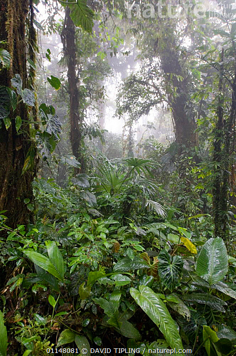 Cloud Forest trees and vegetation, Altos Del Maria, Panama., CENTRAL AMERICA,LEAVES,VERTICAL,CENTRAL-AMERICA, DAVID TIPLING