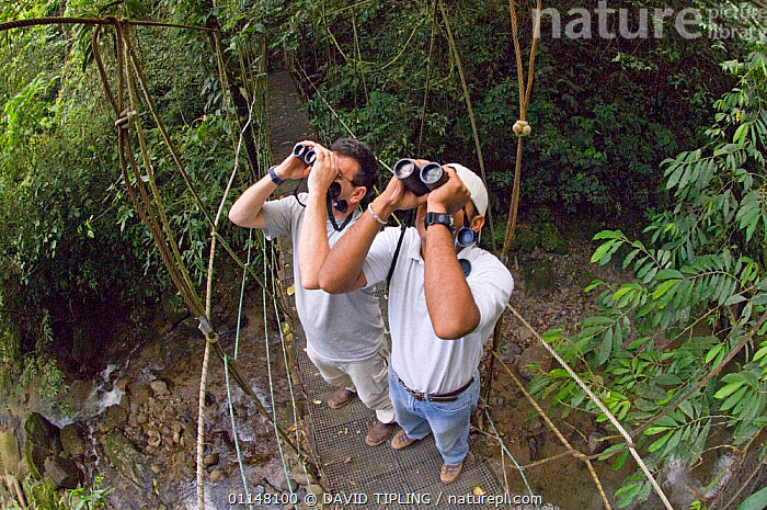 Toursits watching birds through binoculars from canopy walkway, foothill rainforest, El Valle, Panama.  ,  BIRDWATCHING,CENTRAL AMERICA,ECOTOURISM,MEN,OUTDOOR PURSUITS,PEOPLE,TROPICAL RAINFOREST,TWO  ,  DAVID TIPLING
