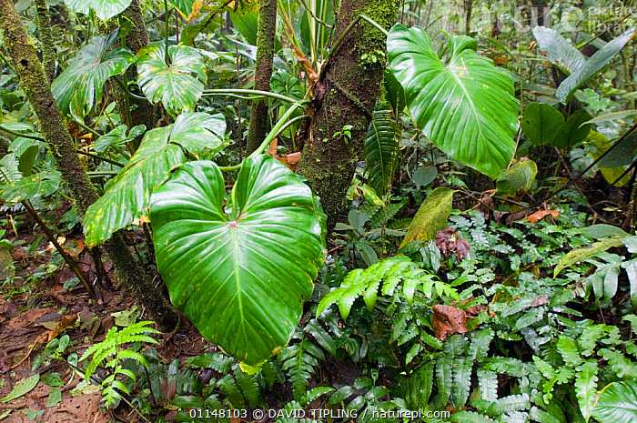 Large leaves of plant in Elfin cloud forest, El Valle, Panama., CENTRAL AMERICA,CLOUD FOREST,LEAVES,RAINFOREST,VEGETATION,CENTRAL-AMERICA, DAVID TIPLING