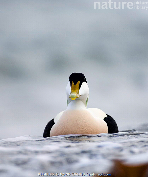 Male Eider duck {Somateria mollissima} portrait on water, Northumberland, UK., BIRDS,DUCKS,EUROPE,PORTRAITS,UK,VERTEBRATES,VERTICAL,WATERFOWL,United Kingdom,British, DAVID TIPLING