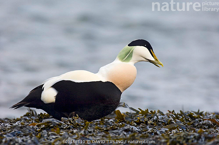 Male Eider duck {Somateria mollissima} profile walking on seaweed, Northumberland, UK.  ,  BIRDS,COASTS,DUCKS,EUROPE,PROFILE,UK,VERTEBRATES,WATERFOWL,United Kingdom,British  ,  DAVID TIPLING