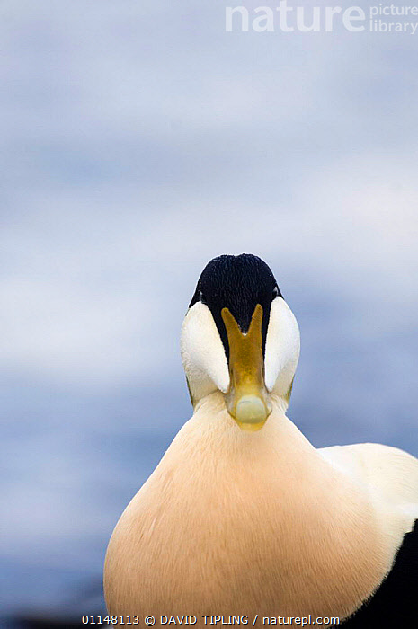 Male Eider duck {Somateria mollissima} portrait, Northumberland, UK.  ,  BEAKS,BIRDS,DUCKS,EUROPE,HEADS,UK,VERTEBRATES,VERTICAL,WATERFOWL,United Kingdom,British  ,  DAVID TIPLING