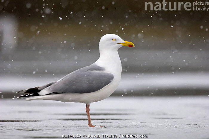 Herring Gull {Larus argentatus} profile standing on frozen lake in snow Northumberland, UK.  ,  BIRDS,EUROPE,GULLS,PROFILE,SEABIRDS,UK,VERTEBRATES,United Kingdom,British  ,  DAVID TIPLING