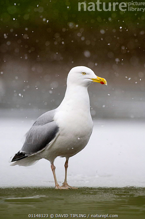 Herring Gull {Larus argentatus} on frozen lake in snow, Northumberland, UK., BIRDS,EUROPE,GULLS,PORTRAITS,SEABIRDS,UK,VERTEBRATES,VERTICAL,United Kingdom,British, DAVID TIPLING