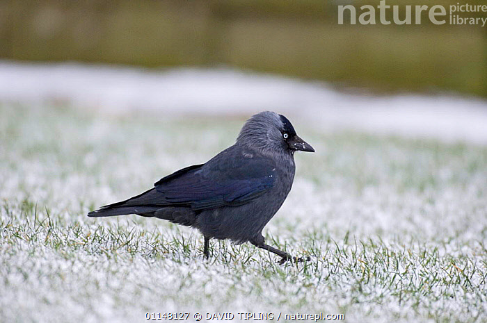 Jackdaw (Corvus monedula) walking across snow covered grass, Northumberland, UK., BIRDS,CORVIDS,CROWS,EUROPE,PROFILE,UK,VERTEBRATES,WALKING,United Kingdom,British, DAVID TIPLING