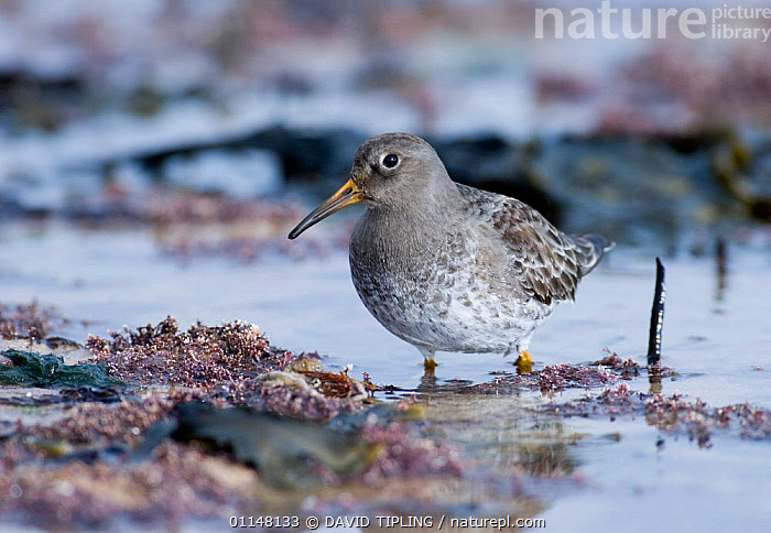 Purple sandpiper {Calidris maritima} wading, Northumberland, UK.  ,  BEHAVIOUR,BIRDS,EUROPE,SANDPIPERS,UK,VERTEBRATES,WADERS,WATER,United Kingdom,British  ,  DAVID TIPLING