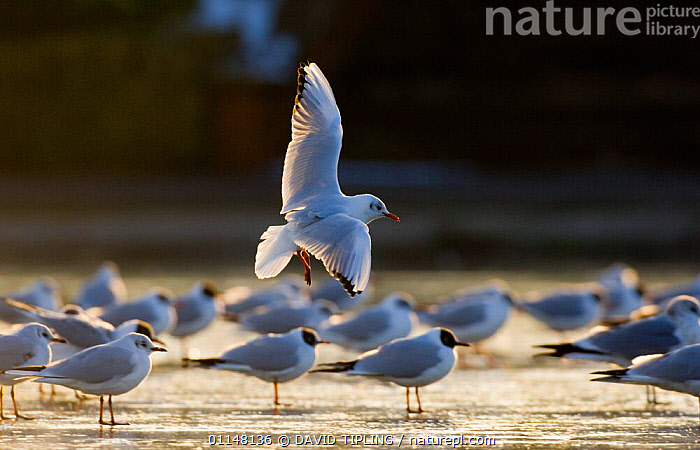Black headed Gull {Chroicocephalus ridibundus} landing at evening roost on frozen lake, Northumberland, UK., BEHAVIOUR, BIRDS, EUROPE, Evening, FLYING, GROUPS, GULLS, ICE, LAKES, SEABIRDS, UK, VERTEBRATES, WINTER,United Kingdom, DAVID TIPLING