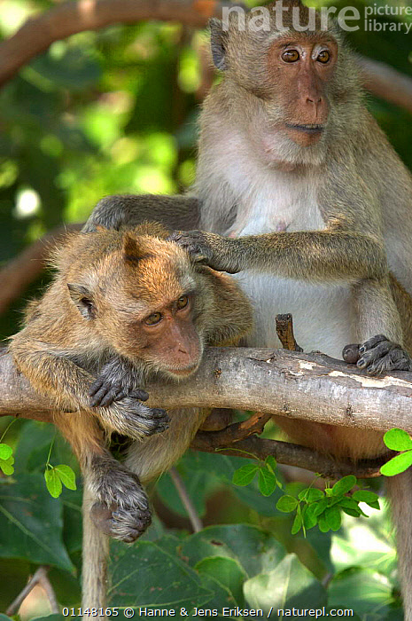 Crab eating / Long tailed macaque (Macaca fascicularis) mother grooming infant, Khao Sam Roi Yot, Thailand  ,  ASIA,GROOMING,MACAQUES,MAMMALS,MONKEYS,PRIMATES,SOCIAL BEHAVIOUR,SOUTH EAST ASIA,VERTEBRATES,VERTICAL  ,  Hanne & Jens Eriksen