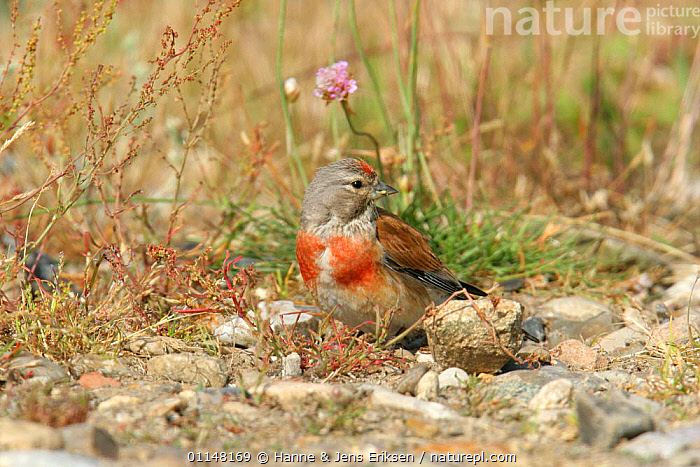 Linnet {Acanthis cannabina} on ground,  Denmark  ,  BIRDS,DENMARK,EUROPE,FINCHES,HORIZONTAL,LINNETS,SCANDINAVIA,VERTEBRATES  ,  Hanne & Jens Eriksen