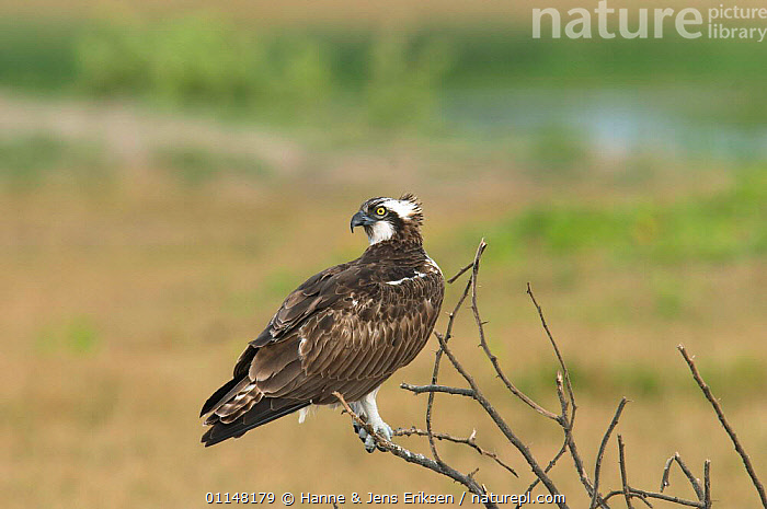 Osprey {Pandion haliaetus} perched on a twig looking over its shoulder, Khawr Taqah, Oman  ,  ARABIA,BIRDS,BIRDS OF PREY,EAGLES,HJE,HORIZONTAL,OSPREYS,RAPTORS,VERTEBRATES  ,  Hanne & Jens Eriksen