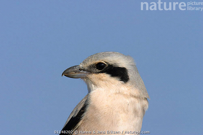 Portrait of Steppe grey shrike {Lanius (excubitor) pallidirostris} Salalah, Oman, ARABIA,BIRDS,CLOSE UPS,HEADS,PROFILE,SHRIKES,VERTEBRATES,Grassland, Hanne & Jens Eriksen