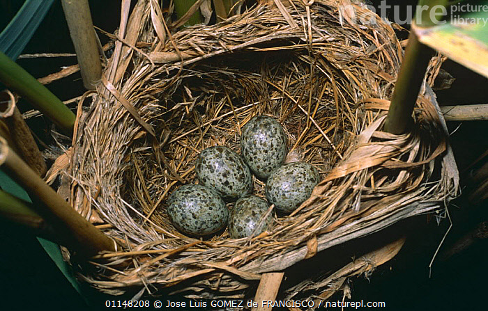Great reed warbler (Acrocephalus arundinaceus) eggs in nest, Spain, BIRDS,EGGS,EUROPE,FIVE,NESTS,SPAIN,VERTEBRATES,WARBLERS, Jose Luis GOMEZ de FRANCISCO