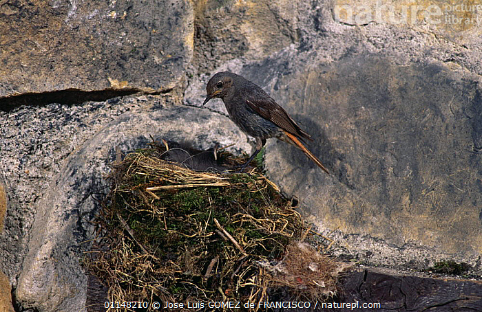 Black redstart (Phoenicurus ochruros) female on nest with chicks, Spain, BABIES,BIRDS,CHICKS,EUROPE,FAMILIES,FEMALES,FLYCATCHERS,JUVENILE,NESTS,PARENTAL,SPAIN,VERTEBRATES,YOUNG, Jose Luis GOMEZ de FRANCISCO