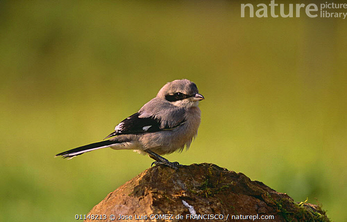 Great grey shrike (Lanius excubitor) perched on rock, Spain, BIRDS,EUROPE,SHRIKES,SPAIN,VERTEBRATES, Jose Luis GOMEZ de FRANCISCO