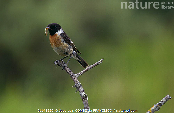 Stonechat (Saxicola rubicola) male perched in branch with insect prey, Spain  ,  BIRDS, EUROPE, FEEDING, FLYCATCHERS, INSECTS, INVERTEBRATES, LARVAE, MALES, SPAIN, VERTEBRATES  ,  Jose Luis GOMEZ de FRANCISCO