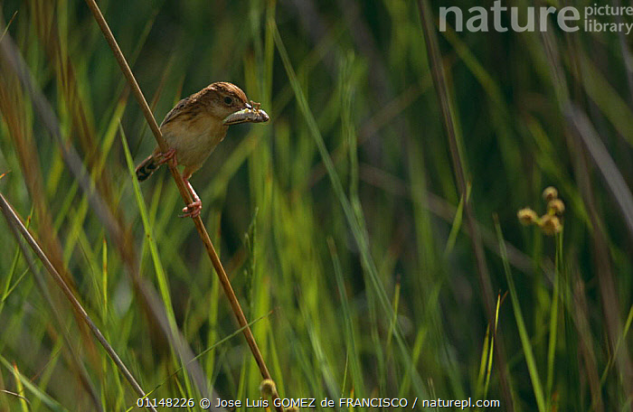 Fan-tailed warbler (Cisticola juncidis) perched on grass stem with insect prey, Spain  ,  BIRDS,EUROPE,FEEDING,INSECTS,INVERTEBRATES,SPAIN,VERTEBRATES,WARBLERS  ,  Jose Luis GOMEZ de FRANCISCO