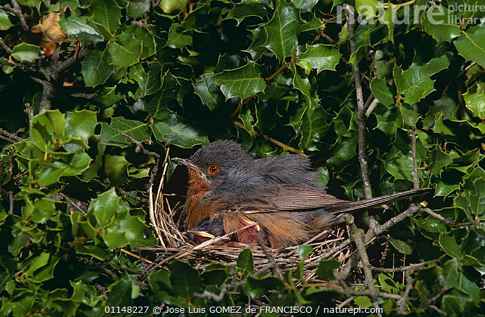 Subalpine warbler (Sylvia cantillans) male on nest with chicks, Spain, BABIES,BIRDS,EUROPE,MALES,NESTING,NESTS,PARENTAL BEHAVIOUR,SPAIN,VERTEBRATES,WARBLERS, Jose Luis GOMEZ de FRANCISCO