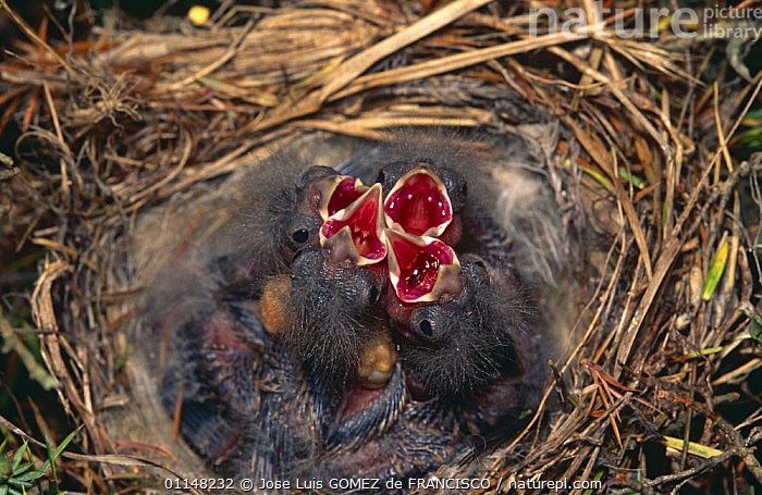 Linnet (Acanthis cannabina) chicks in nest begging for food, Spain  ,  BABIES,BIRDS,CALLING,CHICKS,EUROPE,FINCHES,FOUR,HUNGRY,JUVENILE,MOUTHS,NESTS,SPAIN,VERTEBRATES,VOCALISATION,YOUNG,Concepts  ,  Jose Luis GOMEZ de FRANCISCO