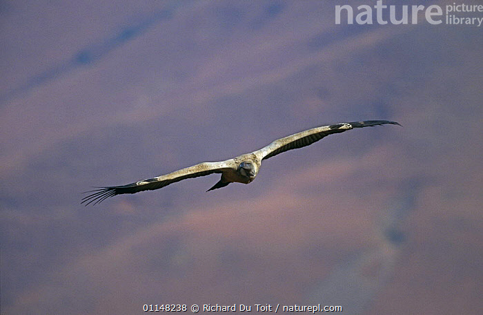 Cape vulture (Gyps coprotheres) in flight, Giant Castle NP, South Africa, BIRDS,FLYING,GLIDING,SOUTHERN AFRICA,THERMALS,VERTEBRATES,VULTURES,WINGS, Richard Du Toit