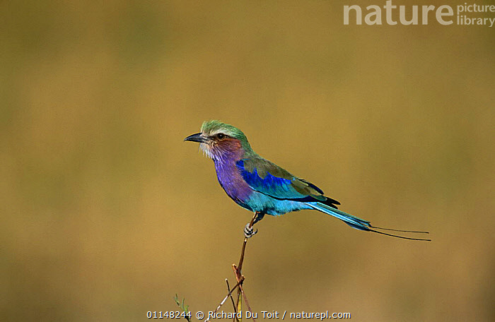 Lilac-breasted roller (Coracias caudatus) perched on branch, Moremi WR, Botswana, BIRDS, COLOURFUL, PROFILE, ROLLERS, SOUTHERN-AFRICA, VERTEBRATES, Richard Du Toit