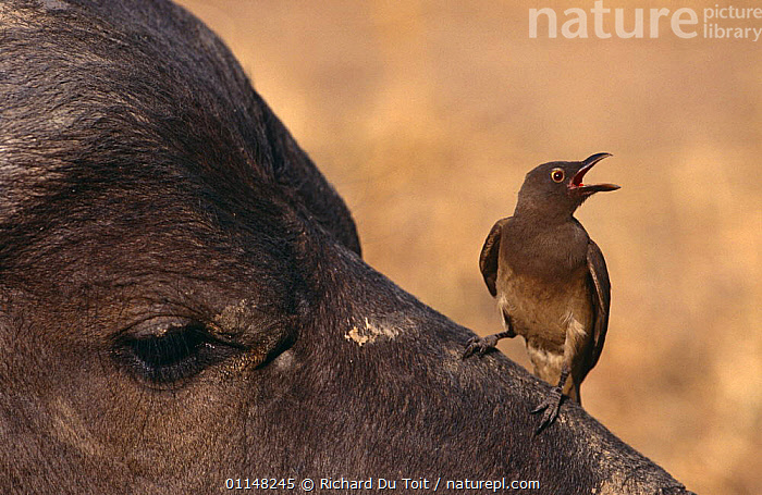 Red billed oxpecker (Buphagus erythrorhynchus) perched on Water buffalo nose (Synceros caffer), Sabi Sand Game Reserve, South Africa, BIRDS,BUBALUS BUBALIS,CALLING,CLEANING,GROOMING,INSECTS,MAMMALS,MIXED SPECIES,OXPECKERS,SOUTHERN AFRICA,SYMBIOSIS,VERTEBRATES,VOCALISATION,Concepts,Partnership,Invertebrates, Richard Du Toit