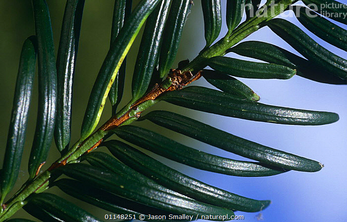 Close up of leaves of Yew tree {Taxus baccata} UK  ,  CLOSE UPS,CONIFERS,EUROPE,GYMNOSPERMS,LEAVES,PLANTS,TAXACEAE,UK,WAXY,United Kingdom,British  ,  Jason Smalley