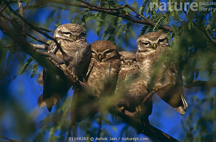 Four Spotted owlets {Athene brama} perched on branch, India  ,  ASIA,BIRDS,BIRDS OF PREY,CUTE,FOUR,GROUPS,INDIAN SUBCONTINENT,OWL,OWLS,RESTING,SLEEPING,VERTEBRATES  ,  Ashok Jain