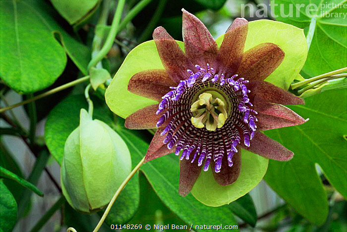 Passion flower {Passiflora triloba} cultivated in UK, grows wild in Brazil and Peru, South America, cultivation,DICOTYLEDONS,FLOWERS,PASSIFLORACEAE,PLANTS,PURPLE,tropical rainforest, Nigel Bean