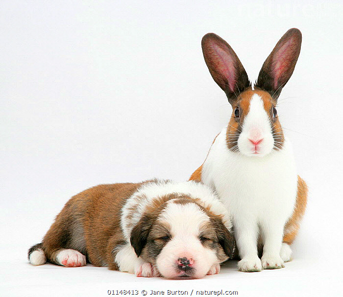 Fawn Dutch rabbit with sleeping Sable-and-white Border Collie pup. NOT AVAILABLE FOR BOOK USE, BEHAVIOUR,colour coordinated,CUTE,CUTOUT,DOGS,FRIENDS,FRIENDSHIP,lagomorphs,MAMMALS,mixed breeds,mixed species,PETS,RABBITS,SLEEPING,VERTEBRATES,Concepts, Jane Burton