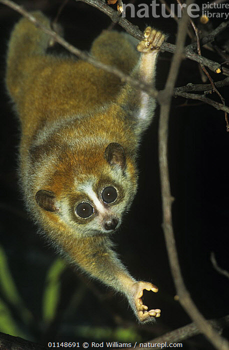 Pygmy slow loris {Nycticebus pygmaeus} juvenile reaching down, captive, from Indo-china  ,  ASIA,BEHAVIOUR,EYES,HANDS,LORISES,MAMMALS,NIGHT,NOCTURNAL,PRIMATES,STRETCHING,VERTEBRATES,VERTICAL  ,  Rod Williams
