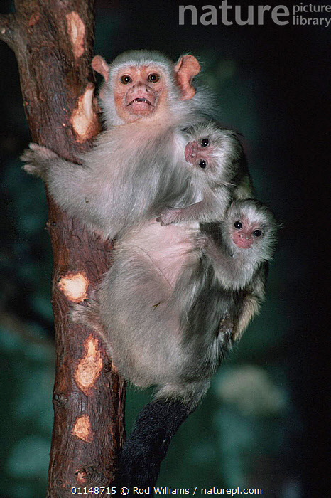 Silvery marmoset {Callithrix argentata} mother with two young on her back, captive, from Brazil, South America  ,  BABIES, CARRYING, CUTE, FAMILIES, MAMMALS, MARMOSETS, NIGHT, NOCTURNAL, parental behaviour, PORTRAITS, PRIMATES, south america, tropical rainforest, VERTEBRATES, VERTICAL  ,  Rod Williams