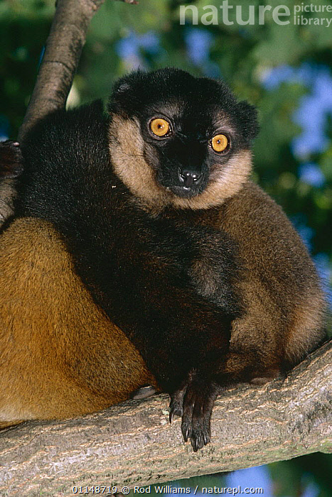 Collared brown lemur {Eulemur fulvus collaris} male with female (light fur on left), captive, from SE Madagascar  ,  LEMURS,MALE FEMALE PAIR,MALES,MAMMALS,PORTRAITS,PRIMATES,VERTEBRATES,VERTICAL  ,  Rod Williams