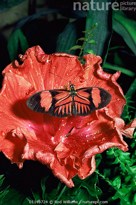 Postman butterfly {Heliconius melpomene} feeding on hibiscus, captive, from South America  ,  ARTHROPODS,BEHAVIOUR,BUTTERFLIES,CAMOUFLAGE,FLOWERS,INSECTS,INVERTEBRATES,LEPIDOPTERA,RED,tropical rainforest,VERTICAL  ,  Rod Williams