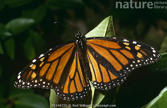 Monarch butterfly {Danaus plexippus} captive, from North America  ,  ARTHROPODS,BUTTERFLIES,INSECTS,INVERTEBRATES,LEPIDOPTERA,NORTH AMERICA,PORTRAITS  ,  Rod Williams