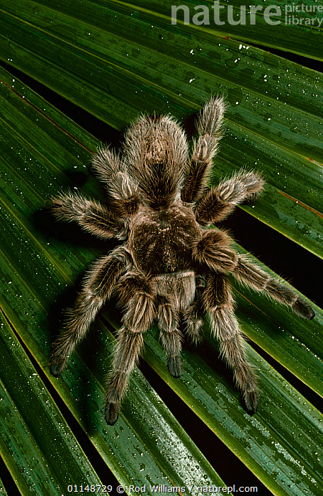 Chilean rose / bird eating spider {Grammostola spatulata} captive, from Chile  ,  ARACHNIDS,ARTHROPODS,FEMALES,HAIRY,INVERTEBRATES,LARGE,POISONOUS,south america,SPIDERS,TARANTULAS  ,  Rod Williams
