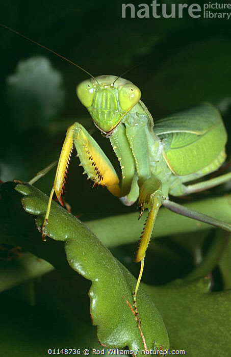 Praying mantis {Sphodromantis centralis} female, captive, from Central Africa  ,  AFRICA,ARTHROPODS,CAMOUFLAGE,CENTRAL AFRICA,GREEN,HEADS,INSECTS,INVERTEBRATES,MANTIDS,MANTODEA,PORTRAITS,VERTICAL  ,  Rod Williams