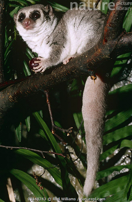 Fat tailed dwarf lemur {Cheirogaleus medius} captive, from Madagascar  ,  EATING,FEEDING,LEMURS,MAMMALS,NOCTURNAL,PRIMATES,VERTEBRATES,VERTICAL  ,  Rod Williams