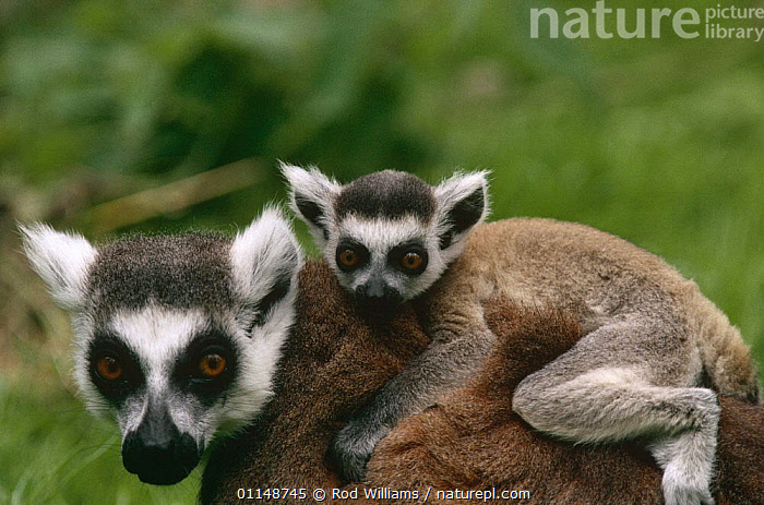 Ring-tailed lemur, female carrying young {Lemur catta} captive, from Madagascar  ,  BABIES,CARRYING,CUTE,FAMILIES,JUVENILE,LEMURS,MAMMALS,PARENTAL,PORTRAITS,PRIMATES,VERTEBRATES,YOUNG  ,  Rod Williams