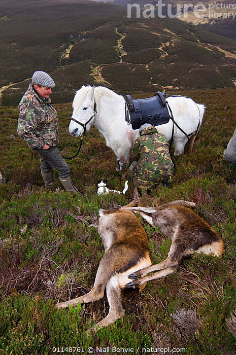 A garron pony waiting to take dead red deer hinds {Cervus elaphus} off moorland hill, Scotland, UK.  ,  ARTIODACTYLA,CERVIDS,DEATH,DEER,HEATHER,HUNTING,MAMMALS,MOORLAND,SCOTLAND,SHOOTING,SPORT,UK,VERTEBRATES,VERTICAL,Europe,United Kingdom,British,Equines  ,  Niall Benvie