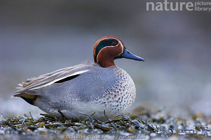 Male Common teal duck (Anas crecca) resting on the shore of a tidal lagoon, winter, Montrose, Scotland  ,  BIRDS,DUCKS,EUROPE,MALES,ONE,PORTRAITS,SCOTLAND,VERTEBRATES,WATERFOWL,WINTER  ,  Niall Benvie