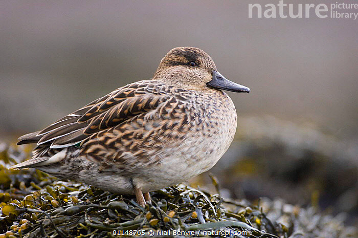Female Common teal duck (Anas crecca) resting on the shore of a tidal lagoon, winter, Montrose, Scotland  ,  BIRDS,EUROPE,FEMALES,ONE,PORTRAITS,SCOTLAND,WINTER  ,  Niall Benvie
