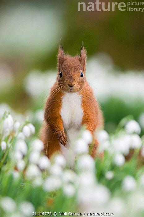 Red squirrel {Sciurus vulgaris} portrait amongst snowdrops, UK.  ,  EUROPE,FLOWERS,MAMMALS,PORTRAITS,RODENTS,SQUIRRELS,UK,VERTEBRATES,VERTICAL,United Kingdom,British, United Kingdom, United Kingdom, United Kingdom,Catalogue1  ,  Niall Benvie