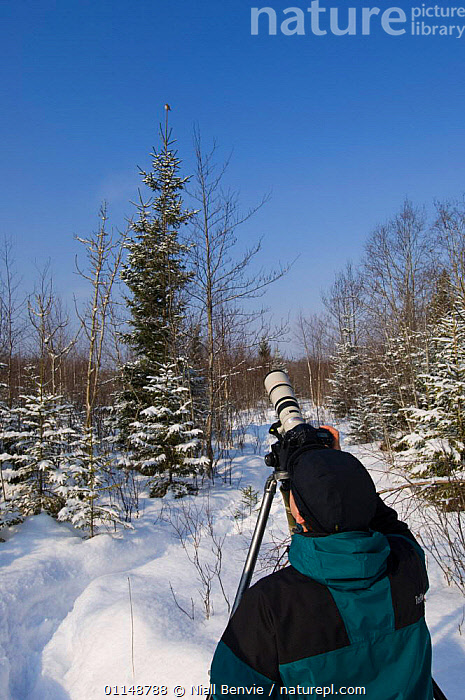 Photographer Jaanus Jarva photographing a Pygmy owl perching on a Norway spruce, Norway.  ,  CAMERA,ECOTOURISM,EUROPE,LEISURE,LONG LENS,NORWAY,PEOPLE,SNOW,VERTICAL,WILDLIFE,WINTER,Scandinavia  ,  Niall Benvie