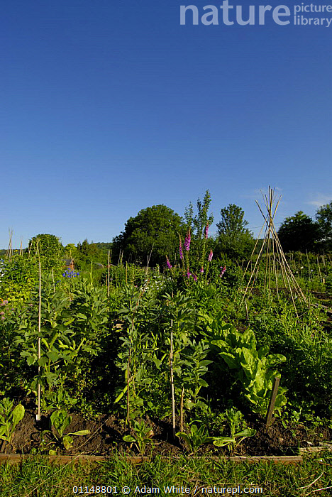 Crop of Broad Beans {Vicia faba} growing in allotment, Bristol, UK.  ,  DICOTYLEDONS,EUROPE,FABACEAE,LEGUME,PLANTS,UK,VERTICAL,United Kingdom,British  ,  Adam White