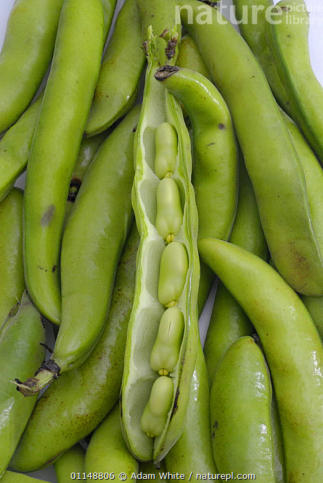 Broad Bean {Vicia faba} pod split open with beans visible, UK.  ,  DICOTYLEDONS,EUROPE,FABACEAE,LEGUME,PLANTS,UK,VERTICAL,United Kingdom,British  ,  Adam White